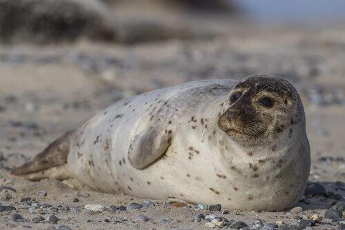 Le principali caratteristiche della foca comune