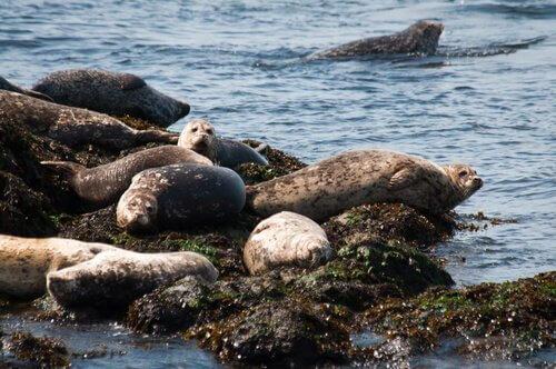 Diverse foche riposano