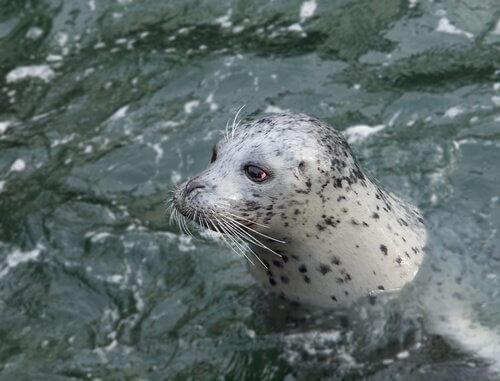 La foca in acqua