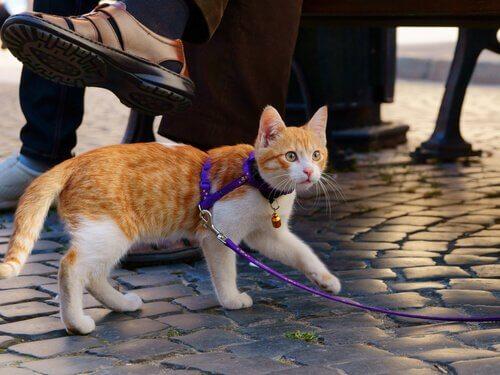 Un gatto al guinzaglio