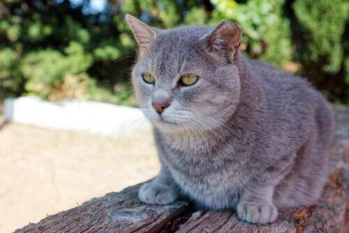 Gatto anziano grigio