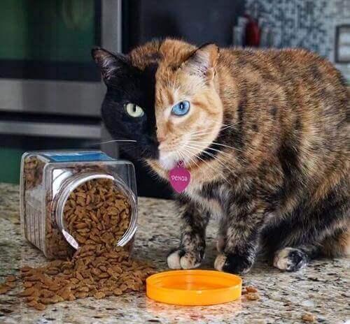 gatto bicolore su instagram