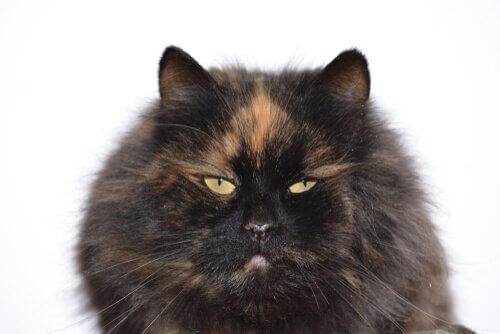 Leggenda gatto carey