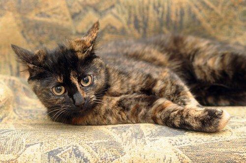 Come sono i gatti carey?