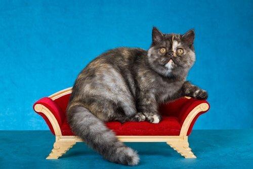 Gatto esotico su mini divano rosso