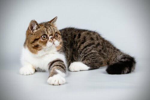 Conosciamo insieme il gatto esotico