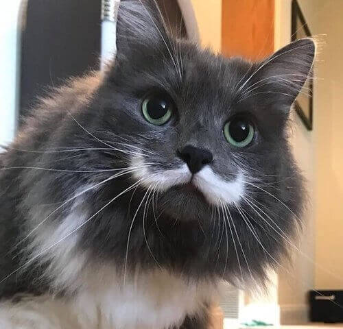 gatto nero e bianco