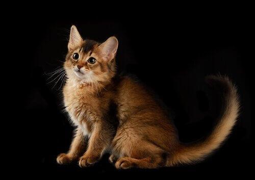 Abitudini del gatto somalo