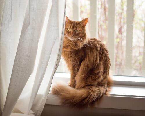 Carattere del gatto somalo