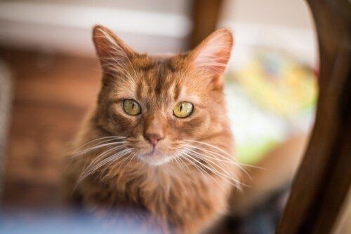 Il gatto somalo: personalità e cure necessarie