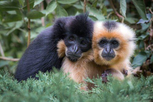 Gibboni scimmie