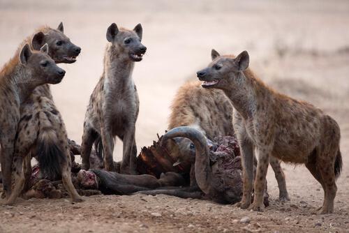 gruppo di iene che mangiano