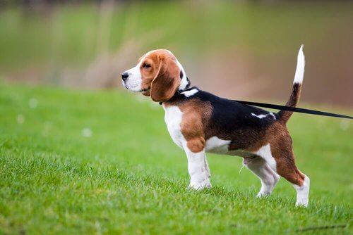 Cucciolo di beagle al guinzaglio