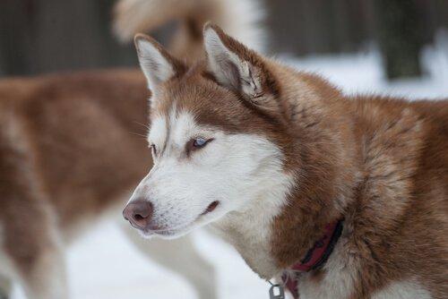 Husky marrone