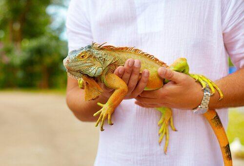 Consigli per adottare un'iguana come animale domestico