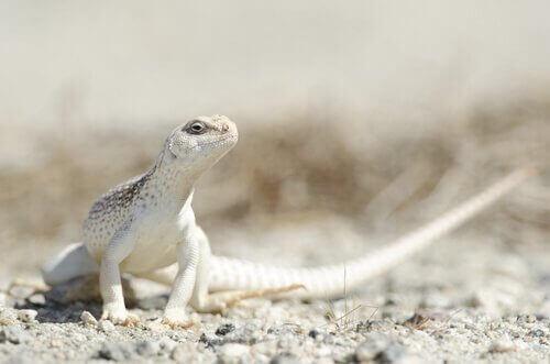 Iguana del deserto tra specie di iguane più diffuse