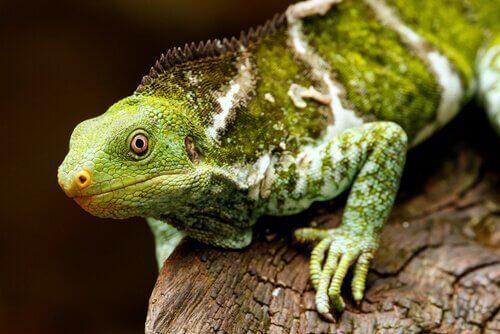 Iguana delle Figi