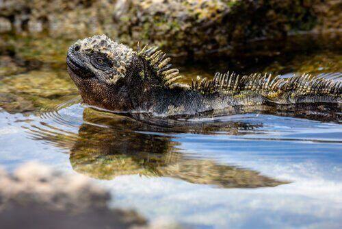 Iguana di mare
