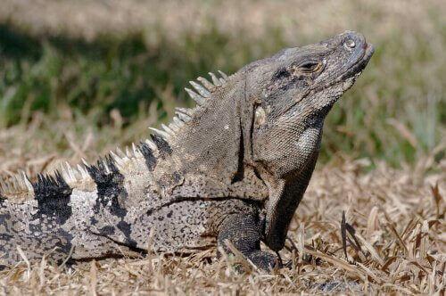 Iguana nera