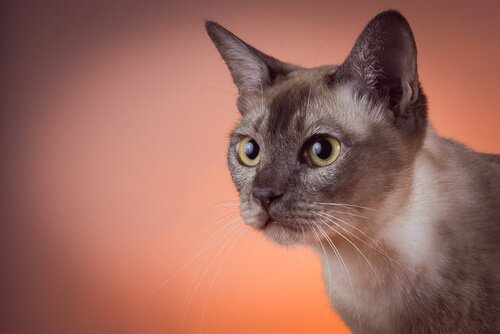Il gatto tonkinese