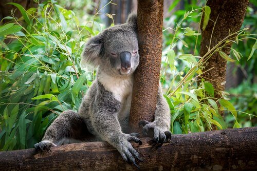 Koala che dorme attaccato all'albero