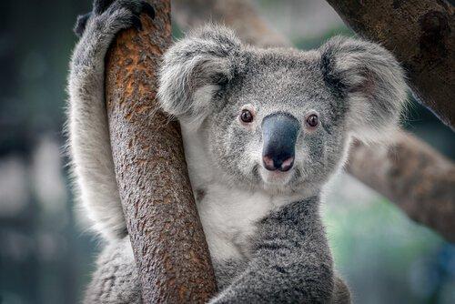 Koala attaccato al ramo di un albero