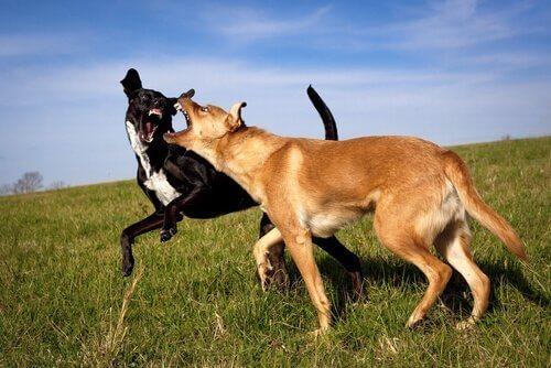 Litigio fra cani