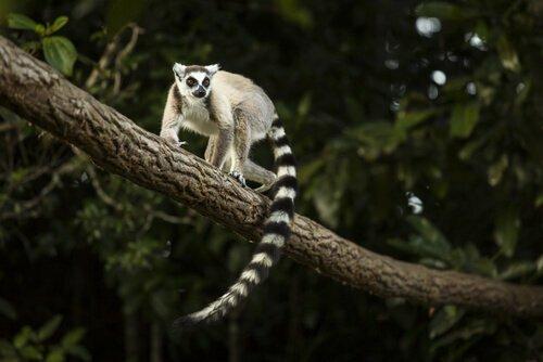 Lemure coda ad anelli