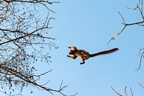 Salto del lemure
