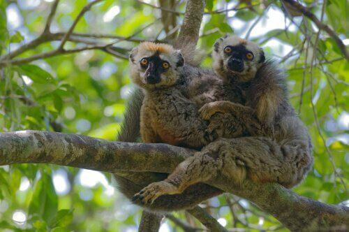 I lemuri si curano contro i parassiti