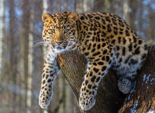 Leopardo sdraiato