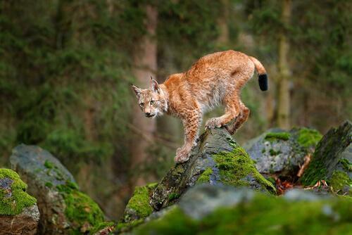 La lince europea minacciata dalla caccia