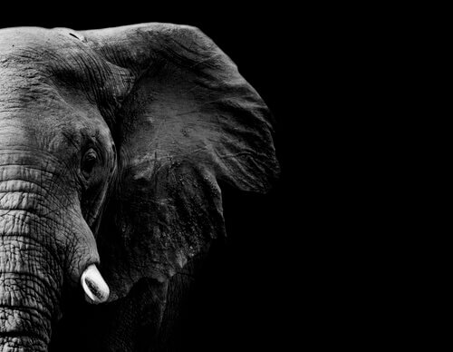 La memoria dell'elefante: mito o verità?