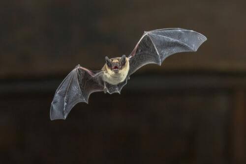 Il curioso volo del pipistrello