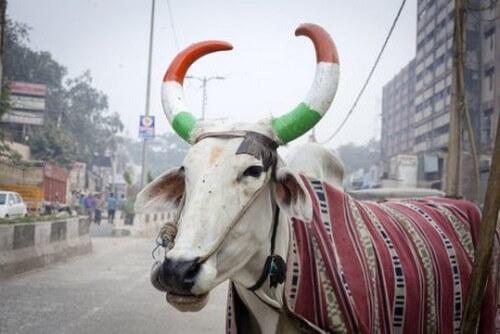L'importanza della mucca in India