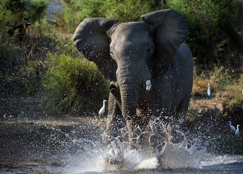 Cos'è il must degli elefanti?