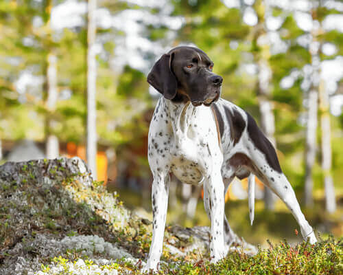 Carattere del pointer inglese