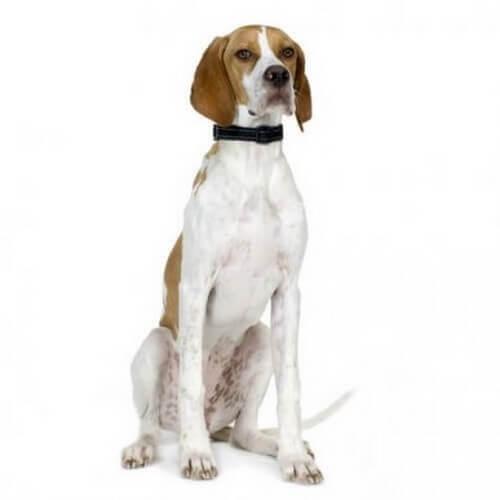 Il pointer inglese, un cane da caccia europeo