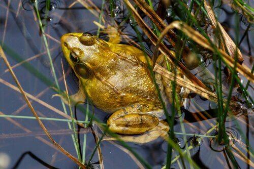Comportamento della rana toro
