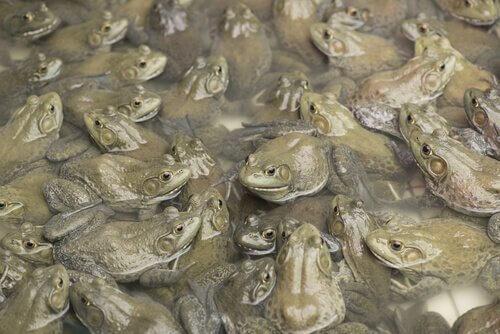 Gruppo di rane