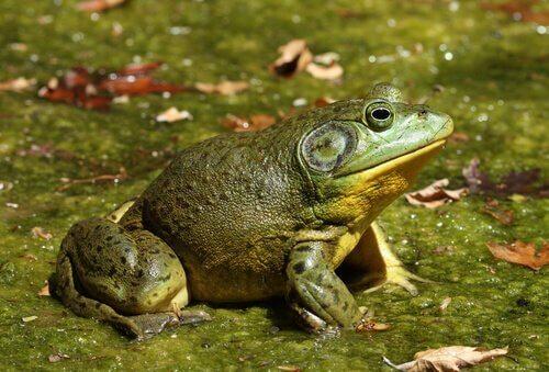 La rana toro: una specie invasiva
