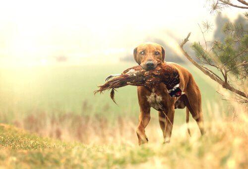 Le migliori razze di cani da caccia: quali sono?