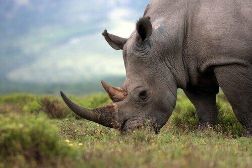 Otto rinoceronti sono morti durante il trasferimento ad una riserva naturale