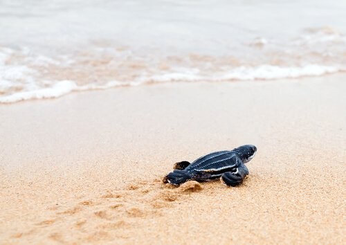 Piccola tartaruga liuto