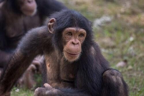 I curiosi scimpanzé del Triangolo di Goualougo