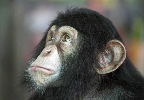 Scimmia intelligente