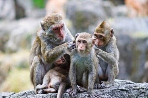 Perché le scimmie si puliscono fra loro?