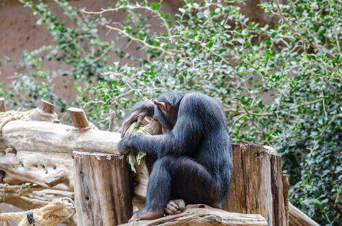 Scimpanzé tra gli alberi