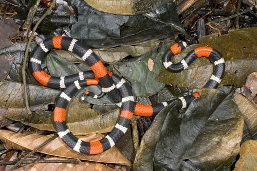 Serpente corallo sopra le foglie