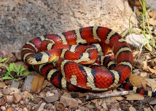 Serpente corallo sulle rocce